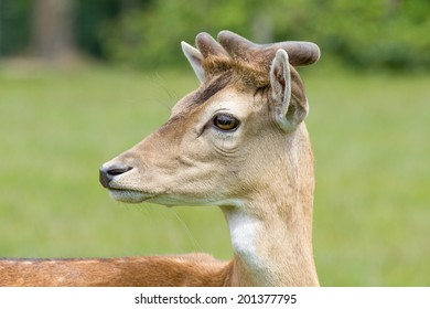 male deer on a meadow