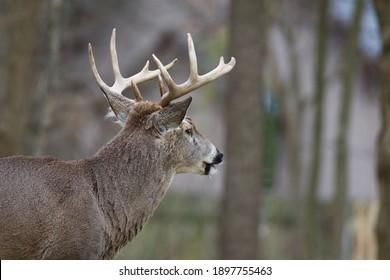 Male deer portrait taken at The Grove National Historic Landmark  Glenview Illinois