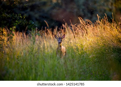 male deer standing in high grass in the evening sun looking into the camera