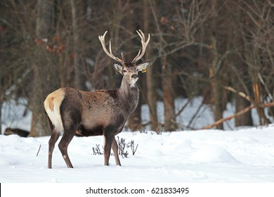 Male of deer stands in to snow on a background the forest