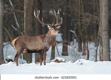 Male of deer stands in to snow on among the forest