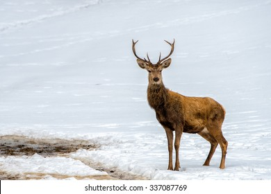 Male Deer while looking at you on the snow background