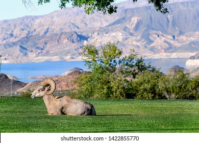 male desert bighorn sheep laying in grass with lake mead in background