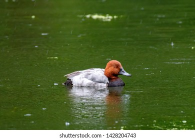 Male of diving duck Common pochard or Aythya ferina close-up portrait swimming in river
