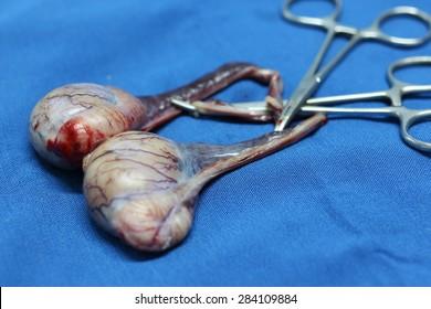 male dog testes after castration