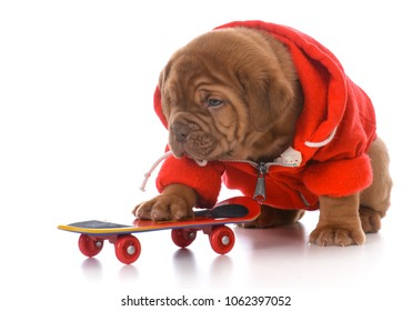 male dogue de bordeaux puppy riding a skateboard on white background