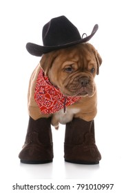 male dogue de bordeaux puppy dressed like a cowboy on white background