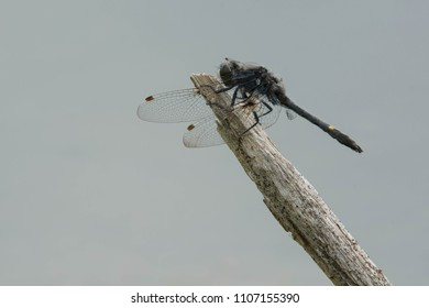 Male Dot-tailed Whiteface Dragonfly perched on a dead reed. Rouge National Urban Park, Toronto, Ontario, Canada.