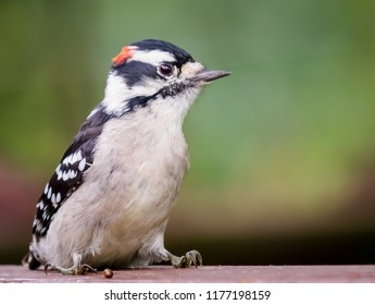 Male downy woodpecker from Kentucky with red spot on its head