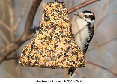 Male Downy Woodpecker, perched on a bell-shaped feeder, contemplating his choices. Humber Bay Park, Toronto, Ontario, Canada.