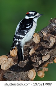A male downy woodpecker is sitting on a fungus covered log.