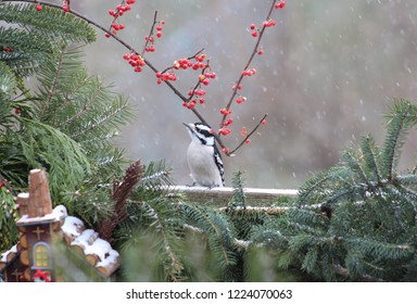 Male downy woodpecker standing under a bittersweet branch looking up at the snow falling all around it.