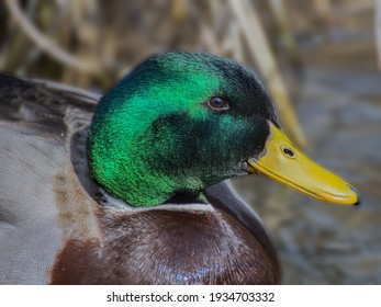 male duck in the lake