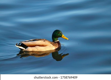 Male duck swimming in crystal clear blue water