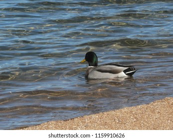 Male duck swimming in a lake