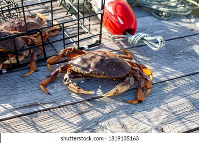 A male Dungeness crab outside of a crab trap on a dock, showing dark black holes on his claw from fights. The black holes will disappear once starts to mould for a fresh shell.