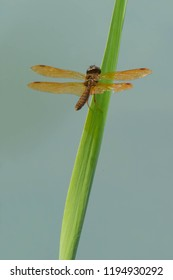 Male Eastern Amberwing Dragonfly perched on a blade of grass overlooking the water. High Park, Toronto, Ontario, Canada.
