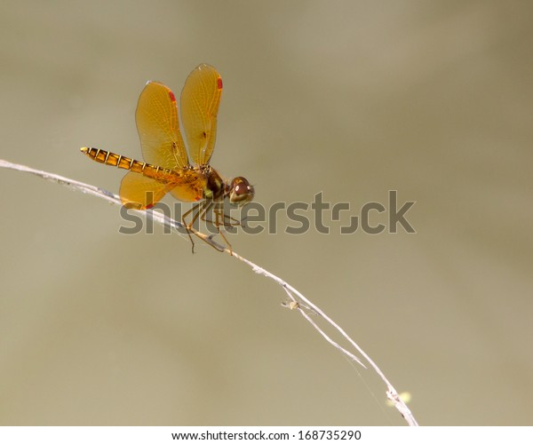 Male Eastern Amberwing dragonfly (Perithemis tenera) perched on vegetation above in a wetland near Uvalde (Uvalde County) in south Texas