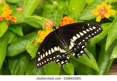 Male Eastern Black Swallowtail butterfly feeding on Lantana flowers