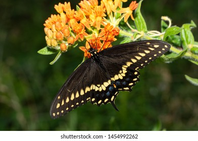 Male Eastern Black Swallowtail butterfly feeding on an orange Butterflyweed