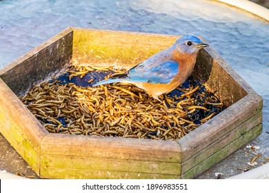 A Male Eastern Bluebird is Attracted by a Mealworm Feeder in Winter.