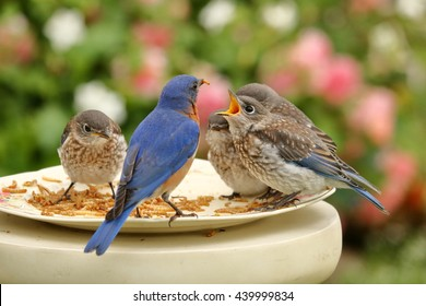 A male Eastern Bluebird feeds his four fledglings meal worms at the bird feeder in the rose garden.