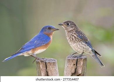 Male Eastern bluebird and Juvenile
