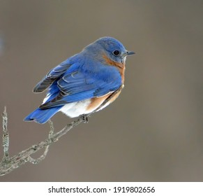 Male Eastern Bluebird peched on a branch