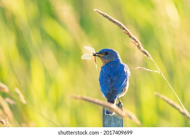 Male Eastern Bluebird perched with an insect in its beak on a warm summer evening.