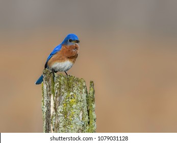 Male Eastern Bluebird Perched on Fence Post