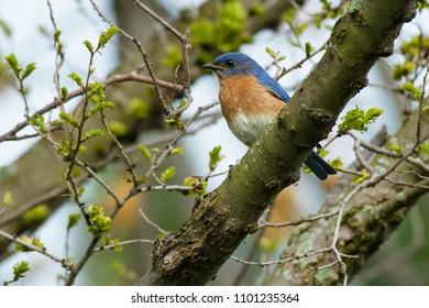 Male Eastern Bluebird perched on a branch. Ashbridges Bay Park, Toronto, Ontario, Canada.