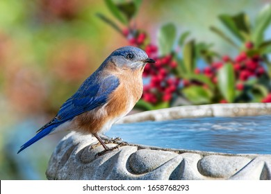 Male Eastern Bluebird Perched on Birdbath in Louisiana Winter With American Holly Tree Branches in Background