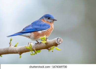 Male Eastern Bluebird Perched on Budding Limb in Early Spring