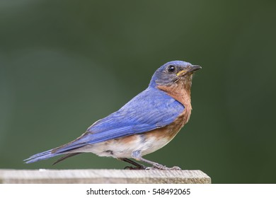 Male Eastern Bluebird Perched on top of Nesting Box