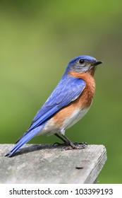 Male Eastern Bluebird (Sialia sialis) on a birdhouse with a green background