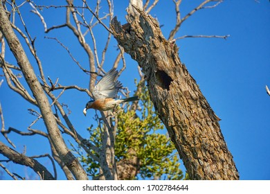 Male Eastern Bluebird (Sialia sialis) with wing spread departing nesting hole carrying off chick excrement