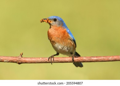 Male Eastern Bluebird (Sialia sialis) on a branch with a worm and a green background