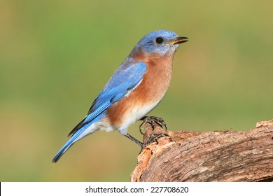 Male Eastern Bluebird (Sialia sialis) on a perch