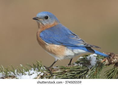 Male Eastern Bluebird (Sialia sialis) on a snow covered perch