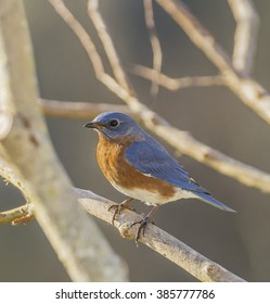 A male Eastern Bluebird (Sialia sialis) sits on a bare tree branch in Easton, Talbot County Maryland, USA..