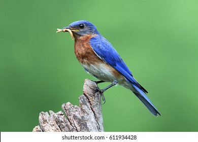 Male Eastern Bluebird (Sialia sialis) carrying worms to a nest