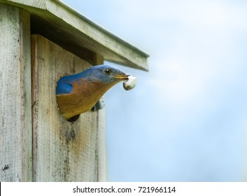 Male Eastern Bluebird Sialia sialis leaving the nest in a bird house with a fecal sac which is the waste of a nestling contained in a membrane.