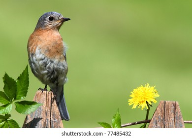 Male Eastern Bluebird (Sialia sialis) on a fence with Dandylion flowers and Virginia Creeper