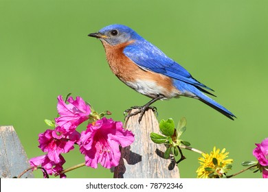 Male Eastern Bluebird (Sialia sialis) on a fence with Dandylion flowers and pink azalea flowers