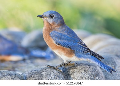 Male Eastern Bluebird Side Profile