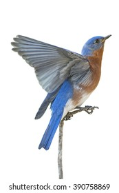 Male Eastern Bluebird with Wing Extended and Isolated on White Background