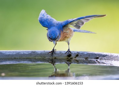 Male Eastern Bluebird With Wings Extended As It Is About to Take a Dip in Birdbath in St. Landry Parish Louisiana in Spring