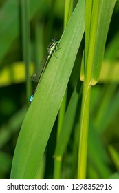 Male Eastern Forktail damselfly perched on a blade of grass. Presqu'ile Provincial Park, Brighton, Ontario, Canada.