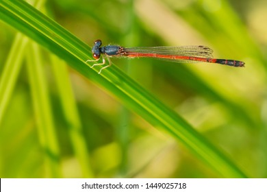 Male Eastern Red Damsel Damselfly perched on a blade of grass. Taylor Creek Park, Toronto, Ontario, Canada.