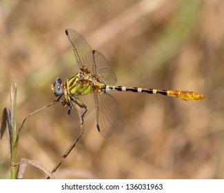 A male Eastern Ringtail dragonfly (Erpetogomphus designatus), perched on a blade of grass in a meadow near Austin (Travis County), in central Texas